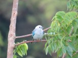 Blue-gray Tanager 3-20-2015